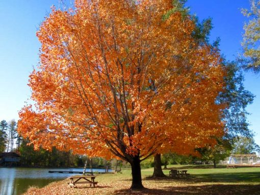 Camp Oak Hill Autumn Tree
