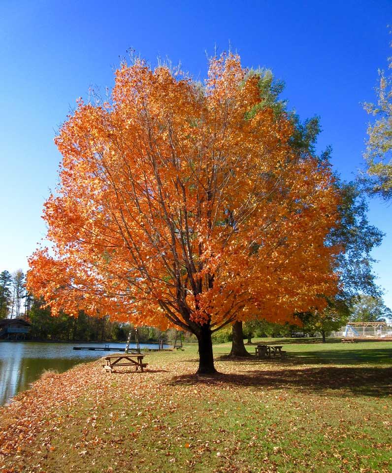 Camp Oak Hill Autumn Tree